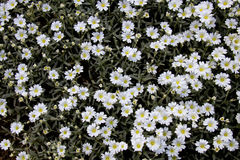 Bed Of White Flowers Royalty Free Stock Image