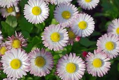 A bed of white-pink marguerites. Seen from straight above Stock Photo