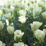 Bed of white tulips Royalty Free Stock Photos