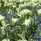 Bed of white tulips Stock Photography