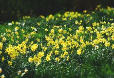 Bed of Yellow Petaled Flowers stock photography