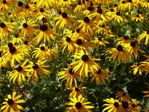 A bed of yellow Rudbeckia flowers. With green foliage in the sunshine Stock Photo