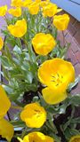 Bed of yellow tulips Stock Photo