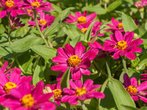 Bed of zinnia Stock Images