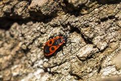 Bedbug-στρατιώτης σε έναν κορμό δέντρων, κόκκινος-μαύρος κάνθαρος, έξοχο μακρο MO Στοκ εικόνες με δικαίωμα ελεύθερης χρήσης