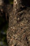 Bedbug στρατιώτης σε έναν κορμό δέντρων Στοκ Εικόνες