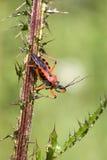 Bedbug Royalty Free Stock Photo