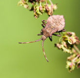 Bedbug. A brown bedbug relaxing on the branch Royalty Free Stock Photos