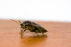 bedbug Royaltyfri Fotografi