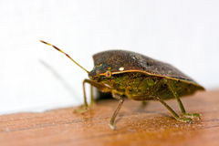Bedbug Royalty Free Stock Photo