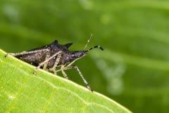 Bedbug behind the leaf macro photo. Photo of bedbug behind the leaf macro photo Stock Photography