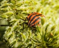Bedbug Stock Photo