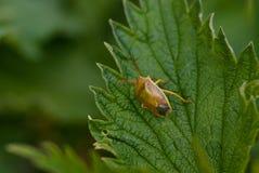 Bedbug. Bug bedbug crum leaf green flora grass herb Stock Photography