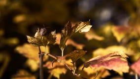 Bedbug Bug Of The Stink Heteroptera on leaf closeup autumn background royalty free stock photos
