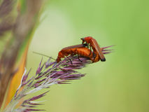 Bedbug copulation Stock Photos