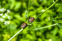 Bedbug on flower Stock Images