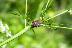 Bedbug on flower Royalty Free Stock Images