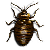 Bedbug illustration colour Stock Photo
