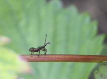 The bedbug (lat. Coreus marginatus). Pest of agricultural plants Stock Images
