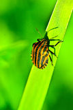 Bedbug on leaf Stock Photography