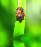 Bedbug on leaf Royalty Free Stock Photos