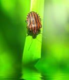 Bedbug on leaf Royalty Free Stock Photos