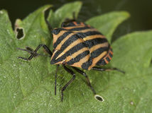 Bedbug Royalty Free Stock Photos