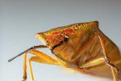 Bedbug,macro Royalty Free Stock Photos
