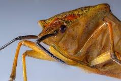 Bedbug,macro Stock Photo
