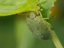 Bedbug Stock Image