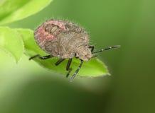 Bedbug Stock Photos