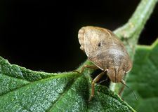 Bedbug sits on a plant Stock Image
