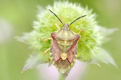 Bedbug sits on a plant in spring Stock Images