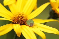 Bedbug sits on a yellow flower. Royalty Free Stock Photos