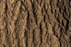 Bedbug soldier on a tree trunk Stock Images