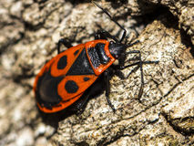 Bedbug-soldier on a tree trunk, red-black beetle, super macro mo Royalty Free Stock Image
