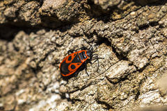 Bedbug-soldier on a tree trunk, red-black beetle, super macro mo Royalty Free Stock Images
