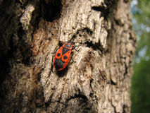 Bedbug-soldier on a tree trunk, super macro mode Stock Photo