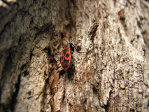 Bedbug-soldier on a tree trunk, super macro mode. Bedbug-soldier on a tree trunk, red-black beetle, super macro mode Royalty Free Stock Photo