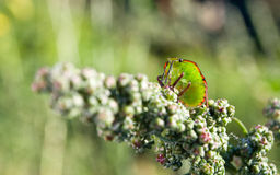 Bedbug on the vegetation Stock Photography
