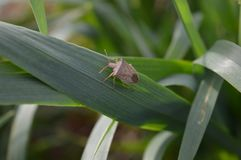 Bedbug on leaf of oat stock photos