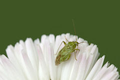 Bedbug on white flower Stock Images