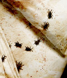 Bedbugs Royalty Free Stock Photography