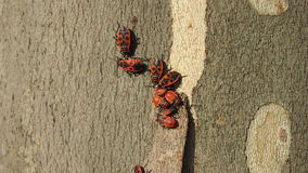 Bedbugs soldiers on a maple leaf Stock Images