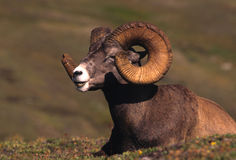 Bedded Bighorn Ram Stock Photography