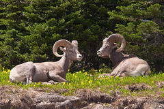 Bedded Bighorn Rams Royalty Free Stock Photo