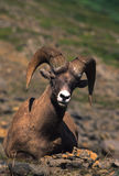Bedded Bighorn Sheep Ram Royalty Free Stock Images