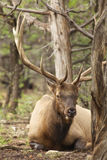 Bedded Bull Elk Stock Image