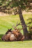 Bedded Bull Elk Bugling Royalty Free Stock Photography