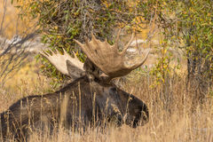 Bedded Bull Moose Stock Images